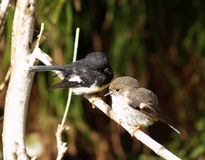 Robin and tomtitd tomtit. New Zealand robin and tomtit sitting on branch, New Zealand stock photos
