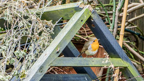Robin in the trash heap Royalty Free Stock Images