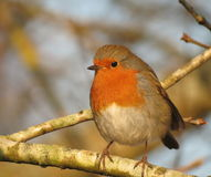 Robin in tree Stock Photography