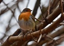 Robin. In a tree Royalty Free Stock Photo