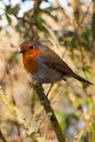 Robin In A Tree, Attenborough Nature reserve royalty free stock image