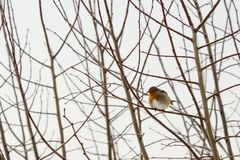 Robin on tree branch Royalty Free Stock Images