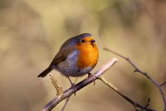 Robin On Tree Branch Royalty Free Stock Image