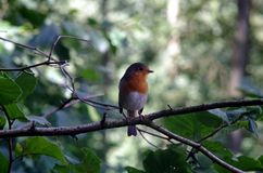 Robin. On a tree branch Royalty Free Stock Photography