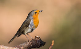 Robin on a Tree Branch (Erithacus rubecula) Stock Images
