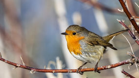 Robin on Tree Branch Stock Images