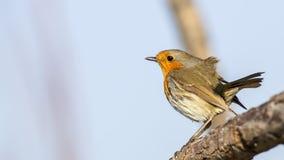 Robin on Tree Branch Royalty Free Stock Photos