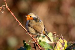 Robin On Tree Branch Thorns Royalty Free Stock Photo