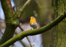 Robin in tree Stock Photo