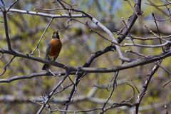 Robin in a Tree Stock Image