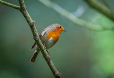 Robin in a tree Royalty Free Stock Photos