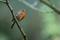 Robin in a tree Royalty Free Stock Image