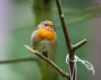 Robin in a tree Royalty Free Stock Photo