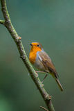 Robin in a tree Royalty Free Stock Images