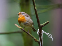Robin in a tree Stock Photography