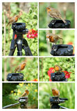 Robin on tripod collage royalty free stock photo