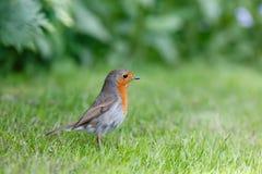 Robin in tuin Royalty-vrije Stock Foto