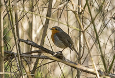 Robin on a twig Royalty Free Stock Photography
