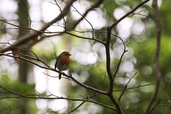 Robin On Twig Royalty Free Stock Photography