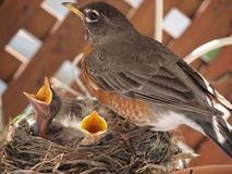 Robin with two baby chicks in nest Royalty Free Stock Photos