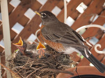 Robin with two baby chicks in nest Royalty Free Stock Images