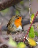 Robin (uccello) Immagini Stock Libere da Diritti