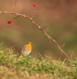 Robin under Dog Rose Stock Photos
