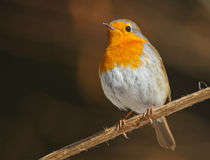 Robin under the sun Royalty Free Stock Image