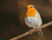 Robin under sunen Royaltyfri Bild