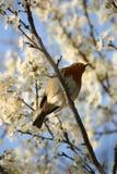 Robin unter Blüte Stockfoto