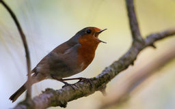 Robin vers le haut d'un arbre Photo stock