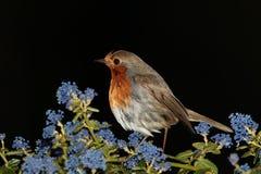 Robin. Stock Photos