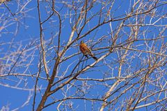 Robin Viewed From Below photographie stock