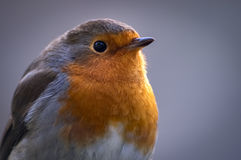 Robin in the winter. An inquisitive robin visiting a garden shows off its trademark vibrant orange breast Stock Image