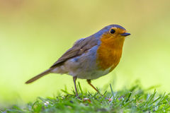 Robin on vivid yellow background Stock Photography