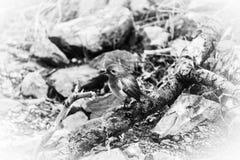 Robin-Vogel in Schwarzweiss Stockfoto