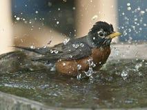 Robin in vogelbad Stock Foto
