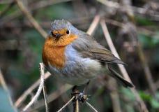 Robin-Vogelfamilie flycatchers_5 Lizenzfreie Stockfotos