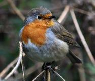 Robin-Vogelfamilie flycatchers_7 Lizenzfreie Stockfotografie