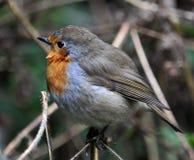 Robin-Vogelfamilie flycatchers_6 Lizenzfreies Stockbild