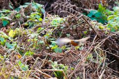 Robin in volo fotografia stock libera da diritti