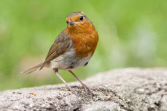 Robin on wall Royalty Free Stock Image