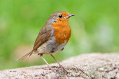 Robin on Wall 2 Royalty Free Stock Photography