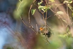 A shy robin in an elder shrub stock photos