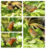 robin with waxworms collage Stock Photography