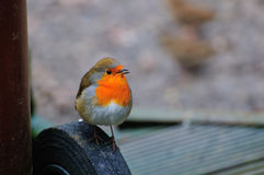 Robin on a wheel of my garden bin. Royalty Free Stock Images
