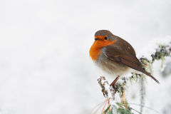 Robin in the white. Robin perched on a small branch in the white after a snowfall Royalty Free Stock Photography