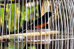 Robin, white rumped shama in the cage. Royalty Free Stock Photos