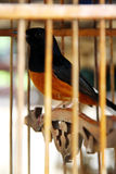 Robin, white rumped shama in the cage. Bird in birdcage, white-ramped shama royalty free stock photography
