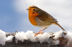 Robin in Winter. A Robin perches on a snow covered branch Royalty Free Stock Images